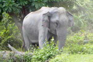Asian Elephant © I Smith