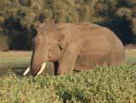 Asian Elephant © J Thomas