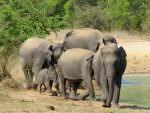 Asian Elephants © D Blakeley