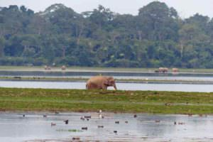 Asian Elephants, Eastern Range, Kaziranga © J Thomas