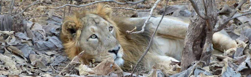 Asiatic Lion Gir National Park © K Claydon