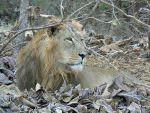Asiatic Lion Gir National Park © J S Bridges
