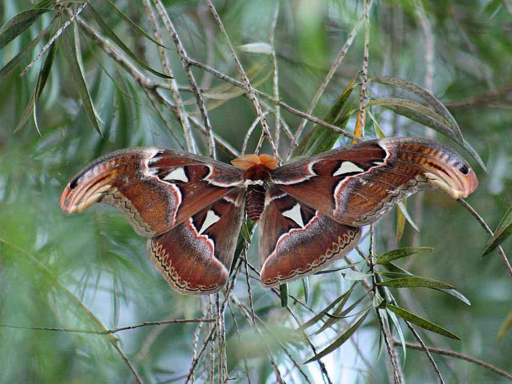 Atlas Moth © J Thomas