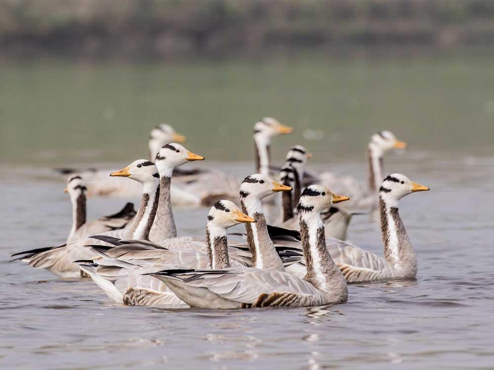 Bar-headed Geese © P Clarke