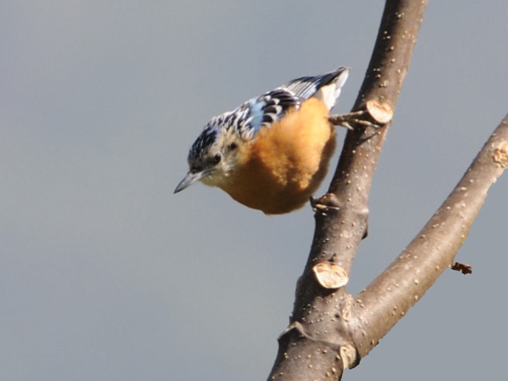 Beautiful Nuthatch © P Lobo