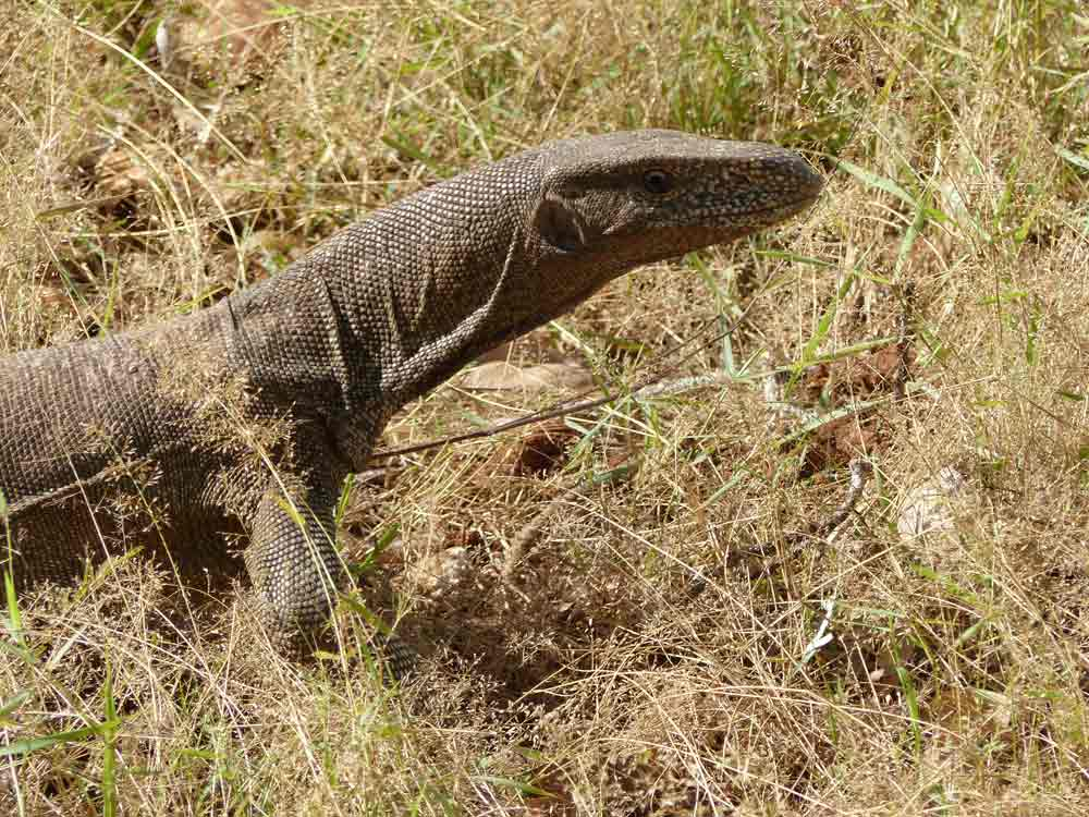 Bengal Monitor Lizard © R Wakely