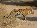 Bengal Tiger © J S Bridges