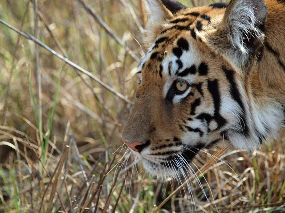 Bengal Tiger © J Dale