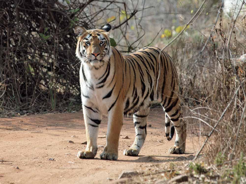 Bengal Tiger, Tadoba © J Dale