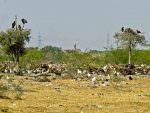 Bikaner Carcass Dump © T Lawson