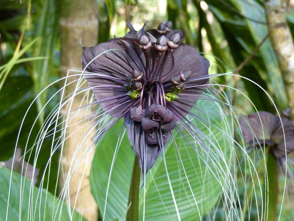 Black Bat Flower Tacca chantrieri © E Wakely