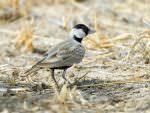 Black-crowned Sparrow Lark (male) © D Bryan
