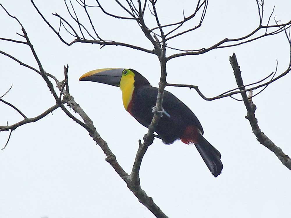 Black-mandibled Toucan © K Barnes