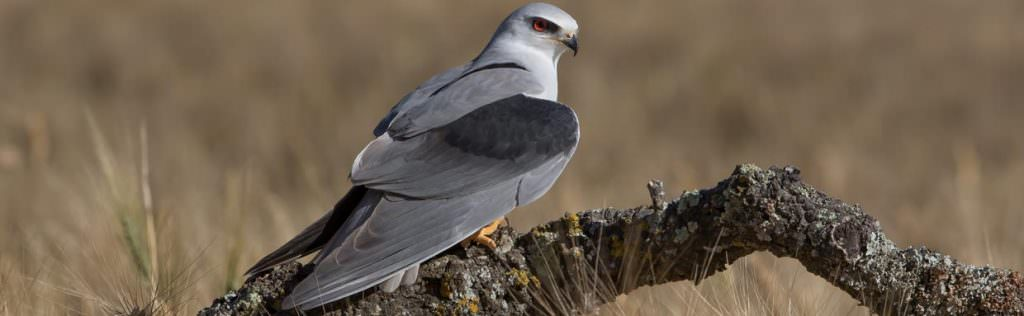 Black-winged Kite © R Campey, One Stop Nature Shop