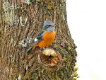 Blue-capped Rock Thrush © R Wasley