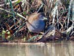 Brown Crake © T Lawson