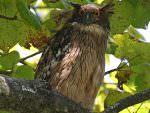 Brown Fish Owl © K Barnes