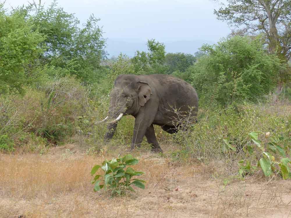 Bull Asian Elephant © R Wakely