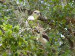 Changeable Hawk Eagle © R Wakely