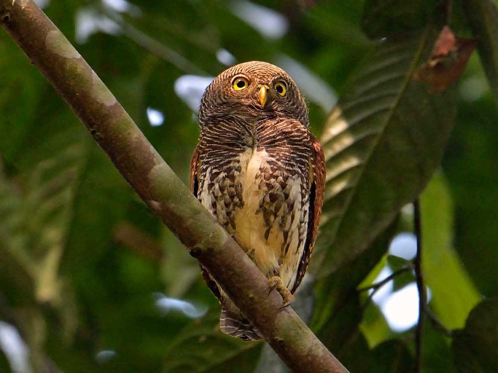 Chestnut-backed Owlet © I Newton