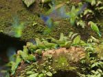 Cobalt-winged Parakeets,Yasuni National Park © J Bridges