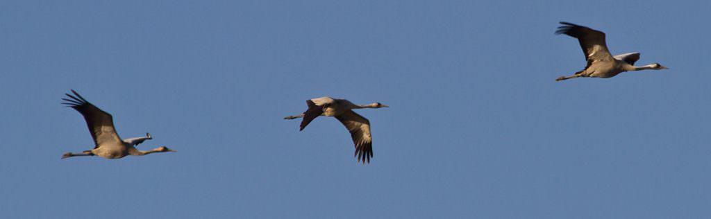 Common Crane © T Lawson