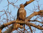 Crested Hawk Eagle © K Claydon
