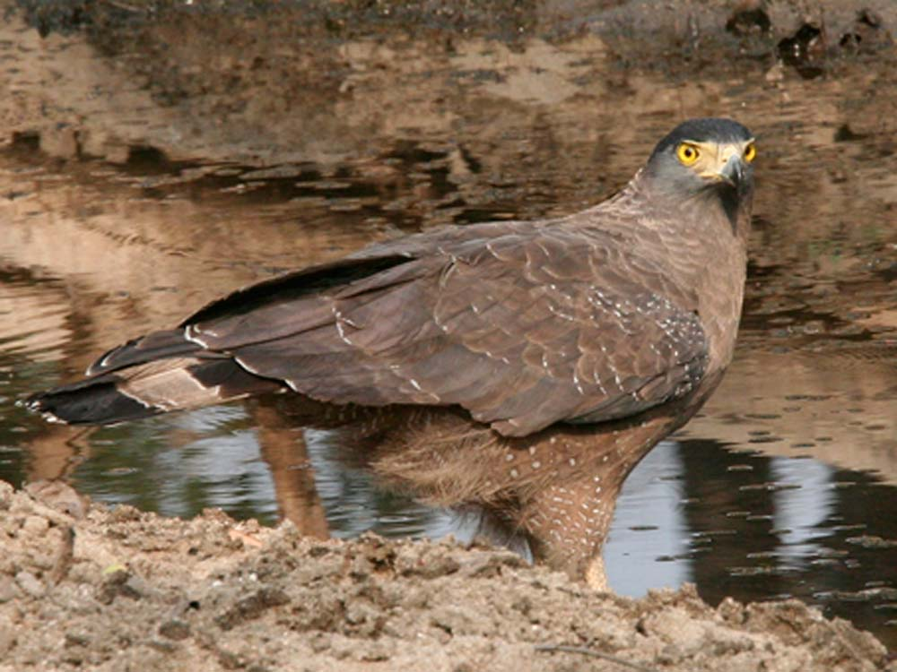 Crested Serpent Eagle © C Bloomfield