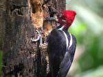Crimson-crested Woodpecker © J Badley