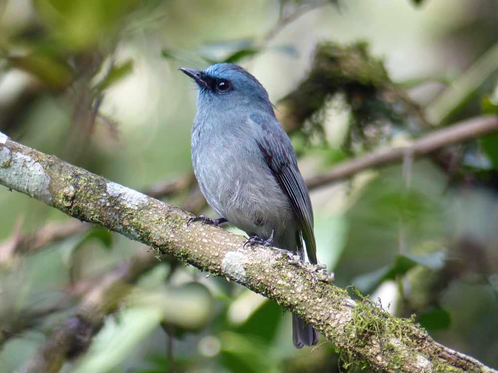 Dull-blue Flycatcher on endemic birding tour