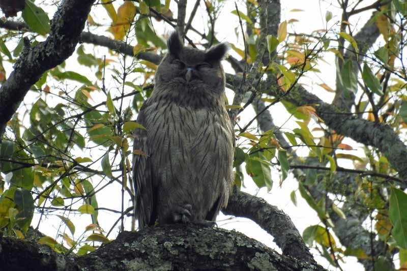 Dusky Eagle Owl © A Rahman