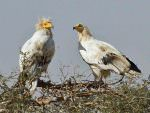 Egyptian Vulture, Bikaner Carcass Dump © T Lawson
