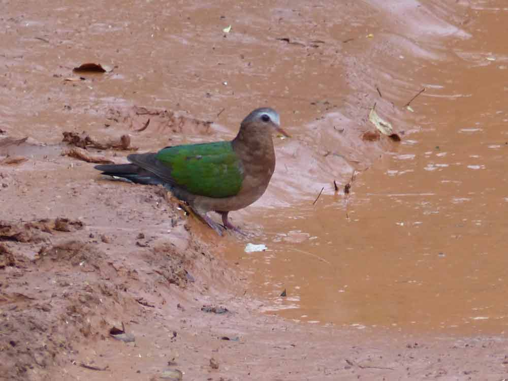 Emerald Dove © J Thomas