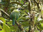 Emerald Toucanet © D Bridges