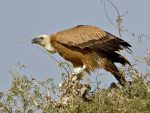 Eurasian Griffon Vulture © T Lawson