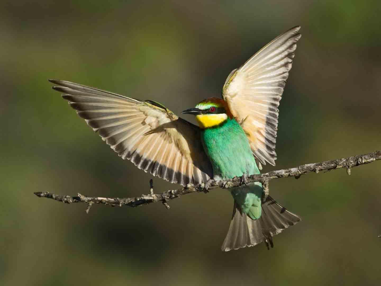 European Bee-eater © D Tipling