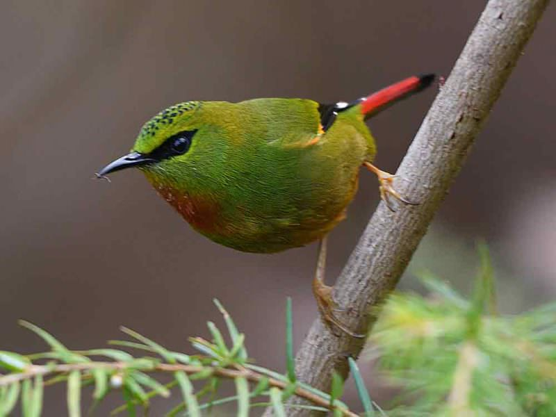 Fire-tailed Myzornis © Wild About Travel