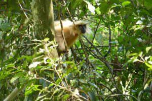 Golden Langur at Kakoijana Community Reserve Forest © J Thomas