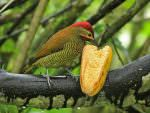 Golden-olive Woodpecker © K Barnes