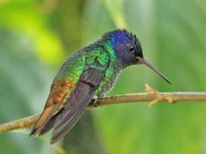 Golden-tailed Hummingbird © K Barnes
