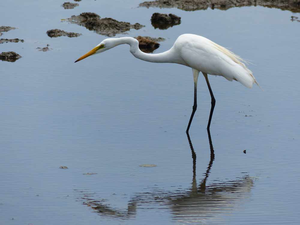 Great Egret © J Thomas