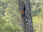 Great Hornbill © R Wasley