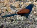 Greater Coucal © T Lawson