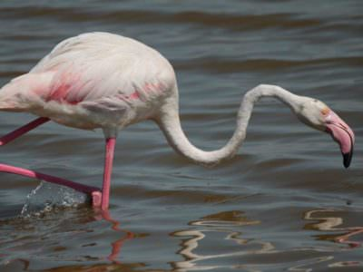 Greater Flamingo © P Lucio