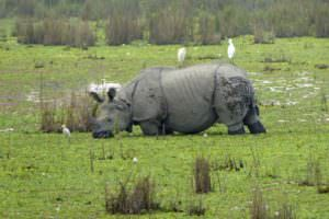 Greater One-horned Rhino © I smith