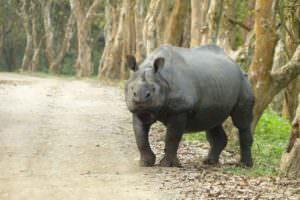 Greater One-horned Rhino © J Thomas