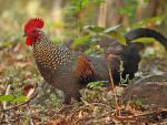 Grey Junglefowl (male) © N Sant