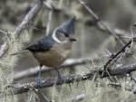 Grey-crested Tit © Wild About Travel