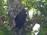 Grey-headed Fish Eagle © R Wakely