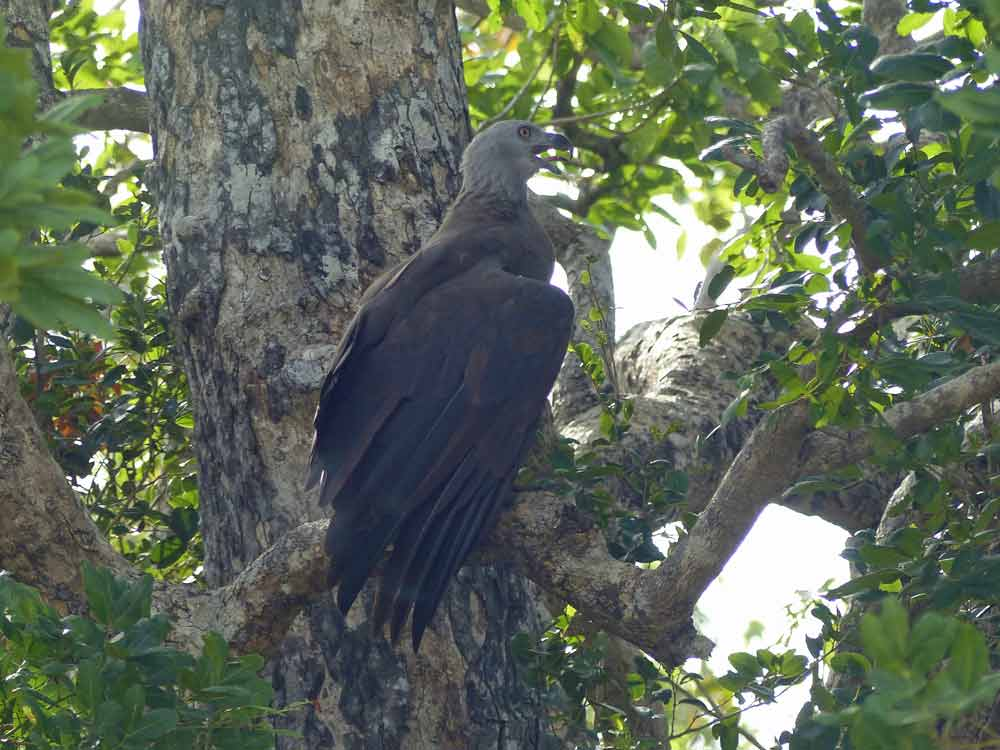 Grey-headed Fish Eagle © R Wakely